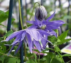 Clematis macropetala 'Maidwell Hall' - all the key facts about this superb clematis with a great picture. Garden Paths, Botany, Planting Flowers, Vines, Roots, Landscape, Plants, Beautiful, Daydream