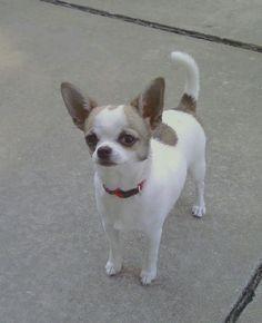 Chihuahua - Mr. Bear.