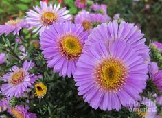 pictures of flowers in lavender - Google Search