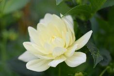 British Flowers Dahlia 'Cameo Cream'