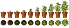 Do you love marijuana so much that you're ready to start growing your own? Do yourself a huge favor and learn how to grow weed the organic way ! Source: ...