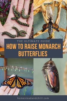 Read along to learn how to attract monarch butterflies to your garden, safely ra. Read along to learn how to attract monarch butterflies to your garden, safely raise monarch caterpillars in an enclosure. Monarch Butterfly Habitat, Butterfly Kit, Butterfly Project, Butterfly Garden Plants, Monarch Caterpillar, Zealand Tattoo, Hummingbird Garden, Garden Care, Big Garden