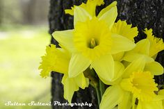 https://flic.kr/p/qxhnBF | _DSC4639b | Do you like yellow flowers?  #yellow #giallo #jaune #amarillo #gelb #amarelo