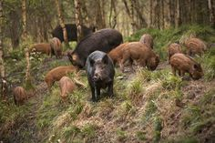 Wild boar Sus scrofa with piglets known as a sounder in the Forest of Dean, UK.