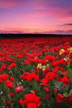 Poppy Field Sunset, Italy