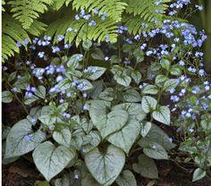 BRUNNERA macrophylla 'Looking Glass' - Kærmindesøster, farve: blå/gråt løv, lysforhold: halvskygge, højde: 30-40 cm, blomstring: maj - juni, god til bunddække.