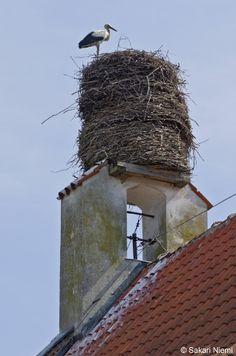 White Stork in Frombork, Poland. sakuva.kuvat.fi