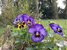 Pansies outside the office