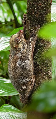 "Colugos are also called flying lemur. However, there are not closely related to the true lemur, which are found in Madagascar. Flying lemurs are classified in the order Dermoptera, from the Greek words derma, meaning ""skin"", and the ptera, meaning ""wing"", thus ""skin-wing"". These creatures have membranes that connect their legs and tail, enable them to glide from one tree to the other. There are 2 species of colugo in the world; the Malayan Flying Lemur and the Philippine Flying Lemur."