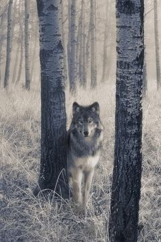 """Timber Wolf...or as we call her """"Kassie"""""""