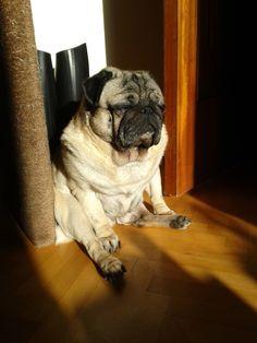 Roly-poly pug enjoying a sunbeam