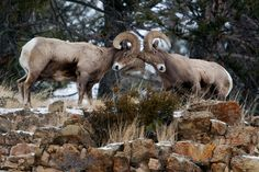 Picture of bighorn sheep rams butting heads