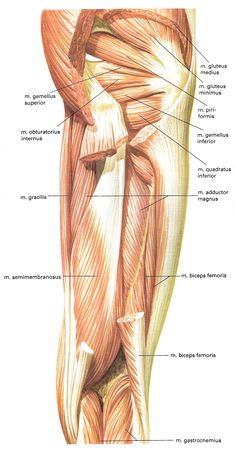 Muscles in the tigh. Names in Latin