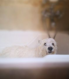 West Highland Terrier, Dogs, Animals, Animales, Animaux, Pet Dogs, Doggies, Animal, Animais