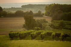 Golden secrets in the vineyard Vineyard, The Secret, Outdoor, Outdoors, Outdoor Life, Garden
