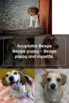 Adoptable Beagle Beagle puppy - Beagle puppy and vignette. Adoptable Beagle, Beagle Puppy, Vignettes, Puppies, Dogs, Animals, Cubs, Animales, Animaux