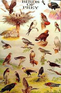 A beautiful poster of colorful illustrations of Birds of Prey: Eagles, Falcons, Hawks, Owls, Vultures, and more! Art by Matthew Kalmenoff. Published in 1985. Fully licensed. Ships fast. 21x33 inches.