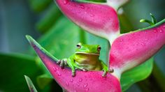 White-lipped tree frog (Litoria infrafrenata) on a heliconia flower in Cairns, Queensland, Australia (© Andrew Watson/ Getty Images)