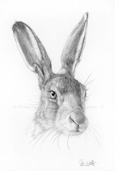 A new study in pencil, just finished - Hase Hare Images, Hare Pictures, Rabbit Pictures, Rabbit Drawing, Rabbit Art, Bunny Rabbit, Pencil Art Drawings, Drawing Sketches, Sketching