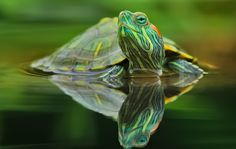 Incredible Green Turtle Picture   OMG Amazing Pictures - Most Amazing Pictures on The Internet