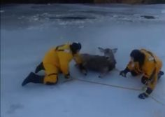This Deer Fell Through The Ice In Saskatchewan And Some Friendly Firefighters Helped Her Out - http://www.funny-animal-pictures.org/this-deer-fell-through-the-ice-in-saskatchewan-and-some-friendly-firefighters-helped-her-out/