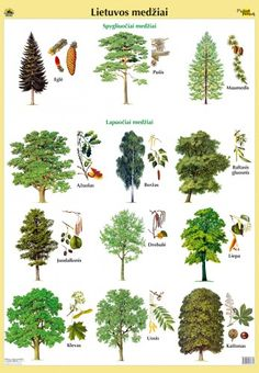 Lithuanian trees (LT). 1. Egle/fir*. 2. Pusis/pine*. 3. Maumedis/larch*. 4. Azuolas/oak*. 5. Berzas/birch*. 6. Baltasis gluosnis/willow*. 7. Juodalksnis. 7. Drebule/aspen*. 8. Liepa/linden*. 9. Klevas/maple*. 10. Uosis/ash*. 11. Kastonas/chestnut*.