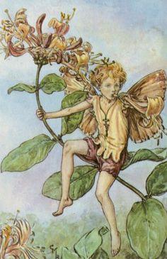 Honeysuckle is the flower of affection #CarolynPollack #LanguageofFlowers Honeysuckle Flower, Fairy Wings, Fantasy Art, Cicely Mary Barker, Vintage Fairies, Flower Fairies, Kobold, Beautiful Fairies, Fairy Art