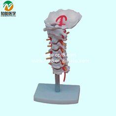 Cervical Carotid Artery Occipital Intervertebral Disc And Nerve Model BIX-A1014 WBW138