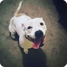 Eden Prairie, MN - English Bulldog/Staffordshire Bull Terrier Mix. Meet Courtney, a dog for adoption. http://www.adoptapet.com/pet/14354026-eden-prairie-minnesota-english-bulldog-mix