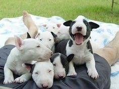 Bull Terrier Pups- one little fellow has something to say!