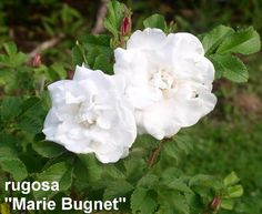 'Marie Bugnet' (Rugosa Hybrid) - white semi-double with strong fragrance growing on a compact bushy plant; 3'x3'; Z3.