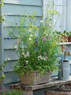 for the farm garden: flowering crop protection - Beneficial meadow in the basket -Flowers for the farm garden: flowering crop protection - Beneficial meadow in the basket - Beautiful Small Cottage Garden Design Ideas 210 Climbing sweet pea Garden Types, Herb Garden Design, Cottage Garden Design, Garden Whimsy, Container Gardening Vegetables, Container Plants, Vegetable Gardening, Farm Gardens, Outdoor Gardens