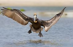 Brown Pelican ( Pelecanus occidentalis ) Pelicano pardo