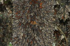 WOW! Monarch Butterflies, Mexico