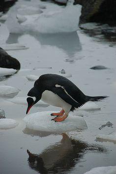 Penguin, Patagonia