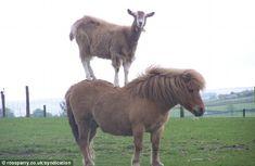 Acrobat animal farm: Gymnastic goat leaps on to pony's back to ...