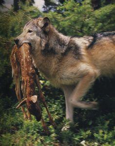Wolf hat beute gemacht