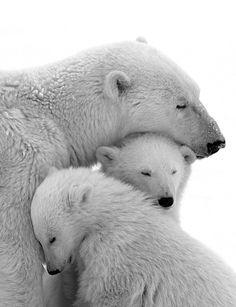 baby polar bear with mother - so beautiful animals ;-) ♥ rosi ♥