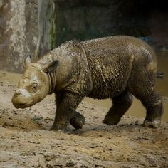 Baby rhino from the Cincinnati Zoo and Botanical Gardens