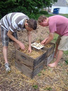 Community Garden: Upper School Garden Club participants experiment with a soil-less method of planting potatoes.