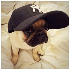 Pug in NY Yankees baseball cap                              …