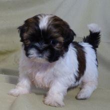 Shih Tzu Puppies For Sale Puppyspot Shihtzu Shih Tzu Puppy