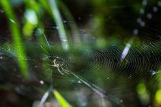 Leucauge es una especie de arañas relacionadas con grades Jawed Orb Weavers (Tetragnathidae). Normalmente se encuentran en las zonas más calientes de Nicaragua