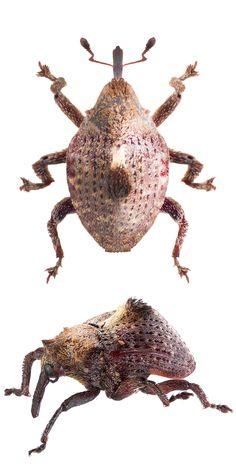 Baeorhynchodes cristatus