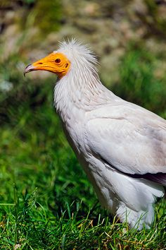 Egyptian vulture in the grass | Flickr - Photo Sharing!