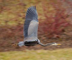 https://flic.kr/p/jrKjLJ | Great Blue Heron | Great Blue Heron @ Dawson Creek Park, Hillsboro OR