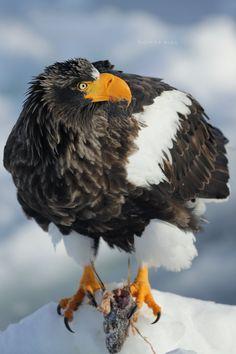 Steller's sea eagle(Haliaeetus pelagicus)オオワシ Steller's Sea Eagle, Bird Gif, Birds Of Prey, Beautiful Birds, Animal Photography, Eagles, Bald Eagle, Feathers, Flora