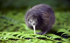 "The most ancient of New Zealand's birds, the kiwi evolved 70 million years ago from a flightless ancestor from the great southern continent of Gondwana. It's a member of the ratite group, and related to the ostrich, emu and rhea as well as the now extinct New Zealand moa.This bird, even if it is not very often seen, is well known. It has given its name to New Zealanders, who are called ""Kiwis"" the world over."
