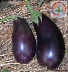 Florida Market Eggplant - 78-90 days to mature. Vigorous erect plants that grow up to 38 inches tall and produce glossy dark purple-black long oval fruit 9.5 inches by 6.5 inches in diameter with a green calyx and no neck at the stem end. Fruit hang well off the ground. It is more heat tolerant than many varieties and is resistant to Phomopsis Blight and fruit rot. Growing Eggplant, Growing Vegetables, Backyard Ideas, Purple And Black, Florida, Gardening, Fruit, Green, Plants