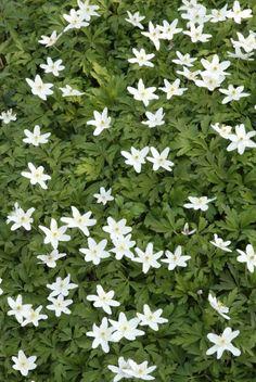 Bosanemoon (Anemone nemorosa) - voor bij kersenboom